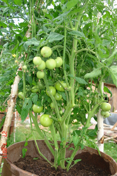 помидорное дерево эм технология